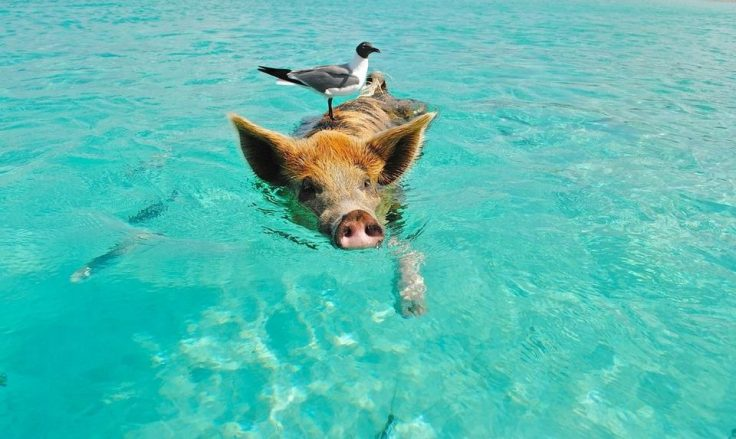Ce qu'il faut retenir ? En Bretagne, nos porcs sont respectés !