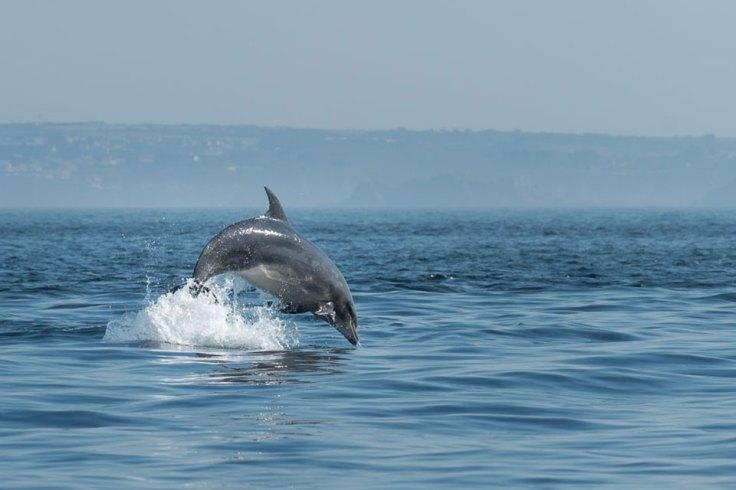 L'élégance du dauphin, en plein coeur du parc marin d'Iroise