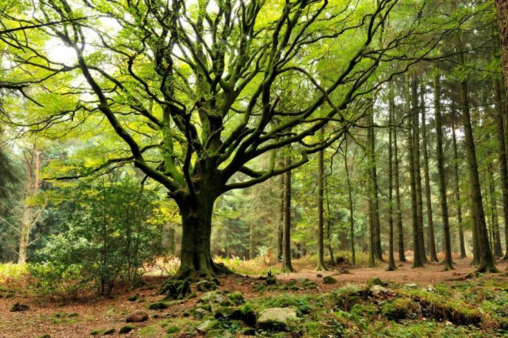 Hêtre de Ponthus, au coeur de la forêt de Brocéliande