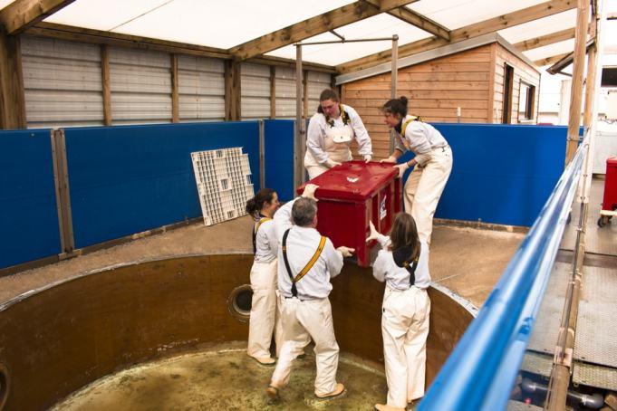 Les soigneurs mettent les jeunes phoques dans les box avant le transport.