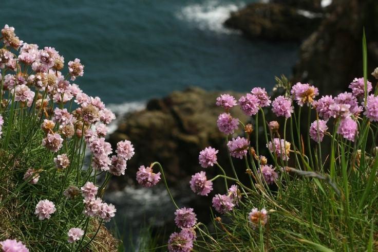 Des plantes arméria qui poussent sur le côte bretonne