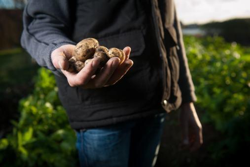 Un agriculteur tient des pommes de terre, elles viennent d'être ramassées