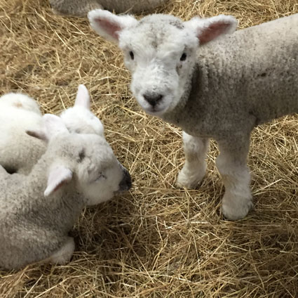 York fair sheep sex 1992