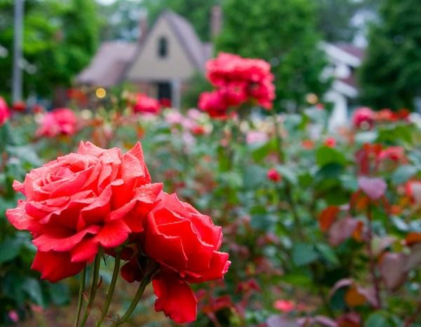 Ladd's Additiona Rose Gardens