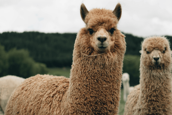 National Alpaca Farm Days