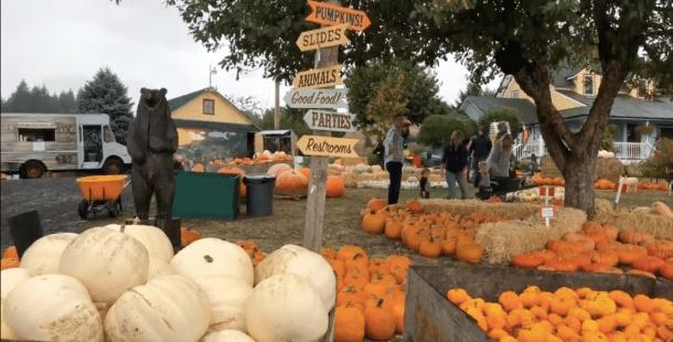 plumper pumpkin patch