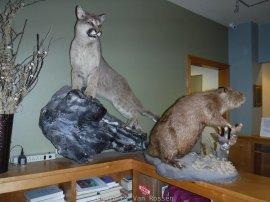 Cougar and Beaver.