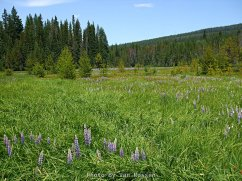 In the Spring the meadows around Little Crater Lake are green and filled with flowers. Spring can vary in the high country. This year it was late June.