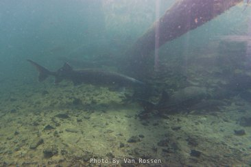 A couple of white sturgeon seen through the viewing window at the sturgeon pond.