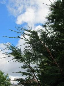 My garden trees 2 Leyland cypress  Portland Tree Tour
