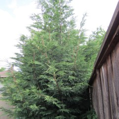 Kitchen Block Paint Colors My Garden Trees: #2 Leyland Cypress | Portland Tree Tour