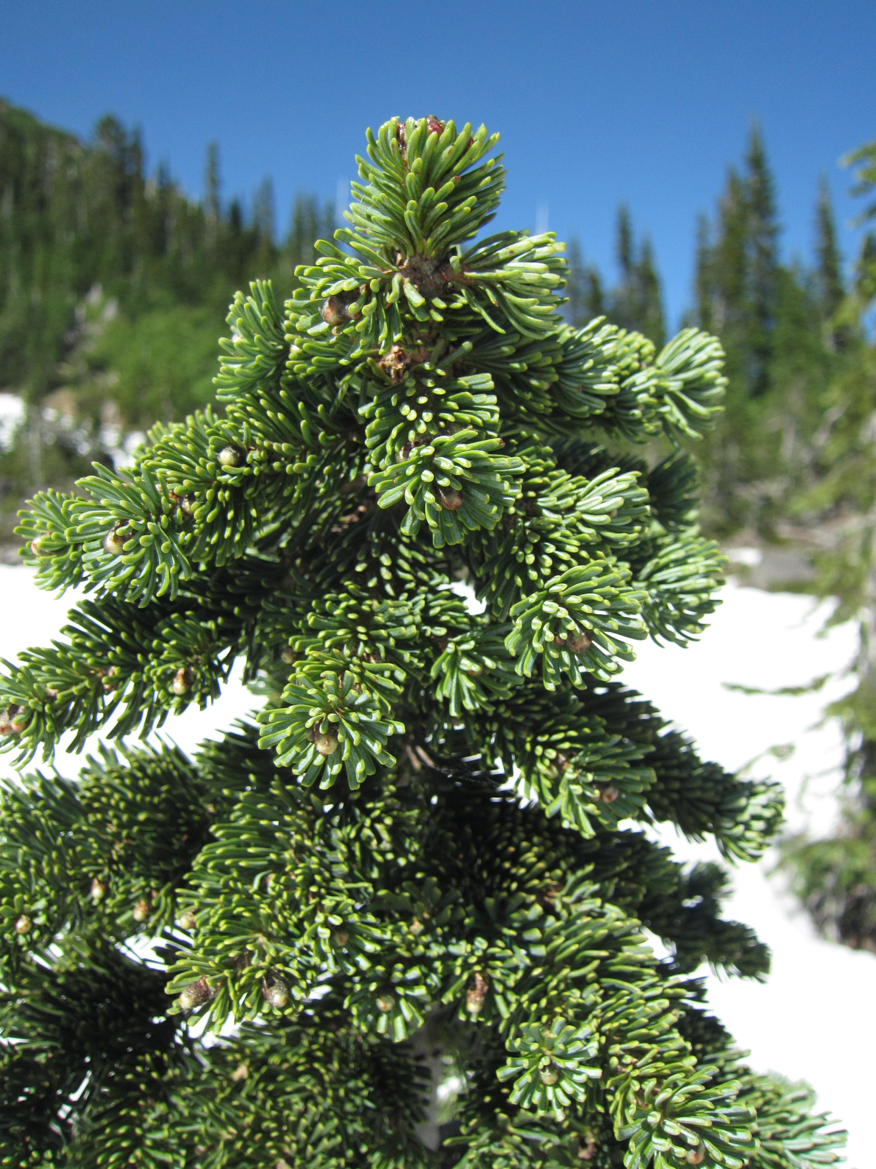 Subalpine fir my favorite tree on 7313  Portland Tree Tour