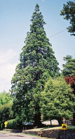 the tallest heritage trees