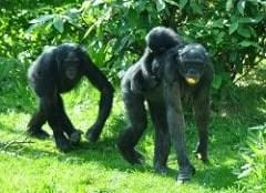 bonobo photo