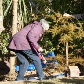 Planting commemorative totara