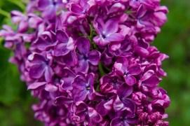 Hulda Klager Lilac Garden