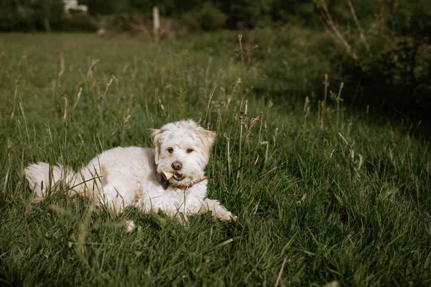 lummi island wedding seattle wedding photographer mini golden doodle