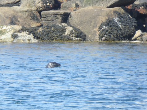 A harbour seal swimming in the waters off of Skye