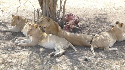 A pride of lions resting after their meal