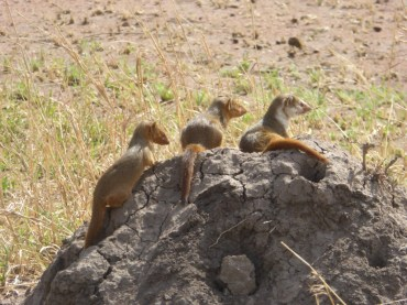A family of tiny mongoose