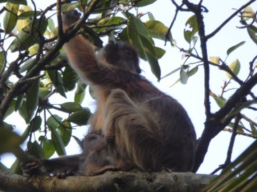 Mother and baby red colobus monkeys