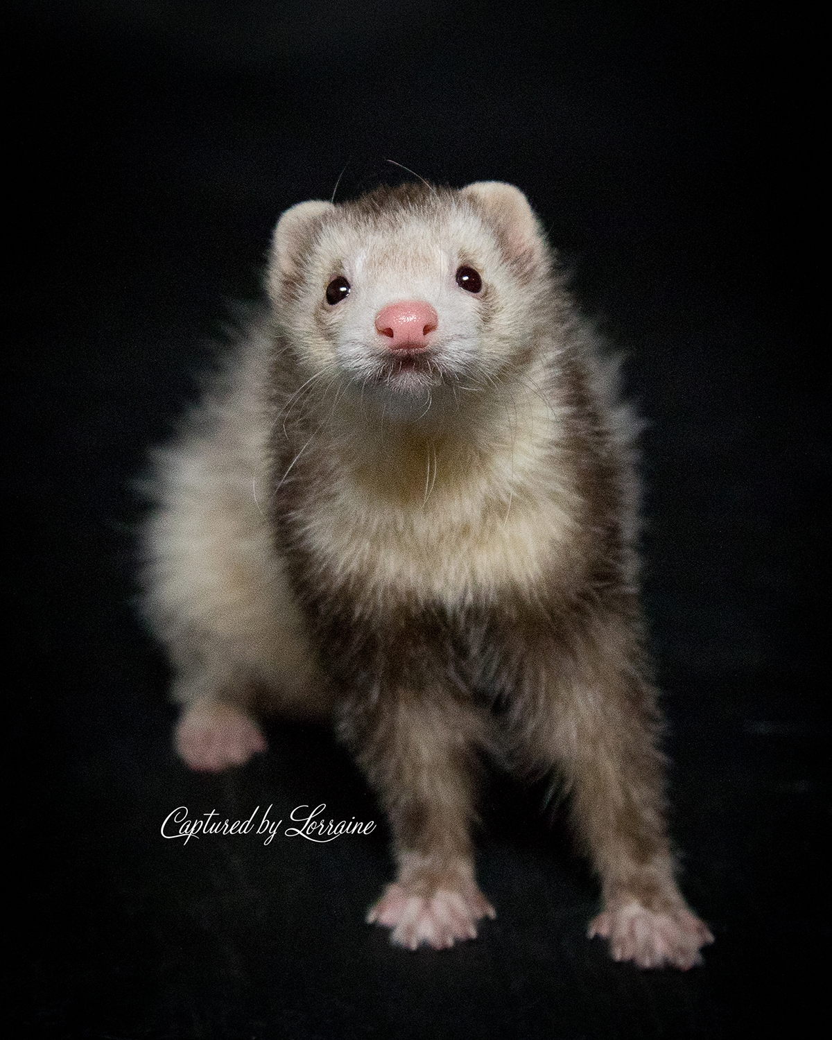 Ferret Photography Illinois
