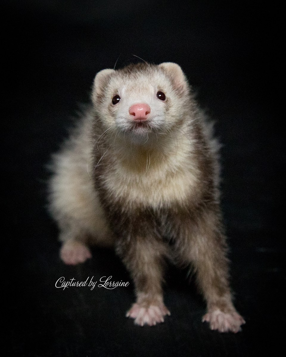 Illinois Ferret Photography