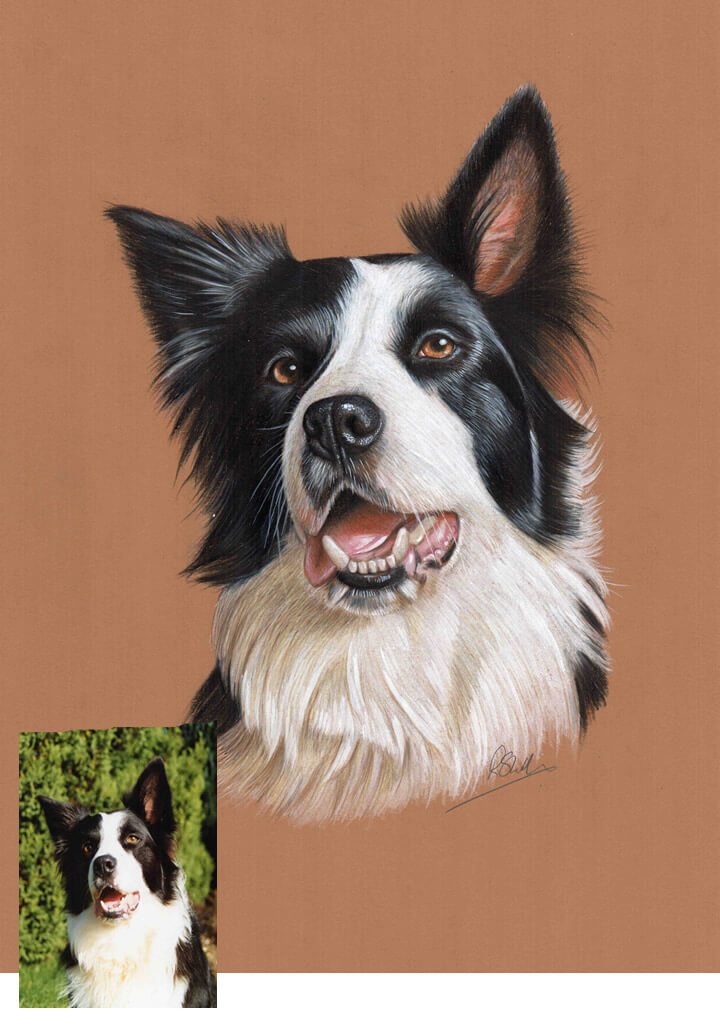 colour drawing border collie