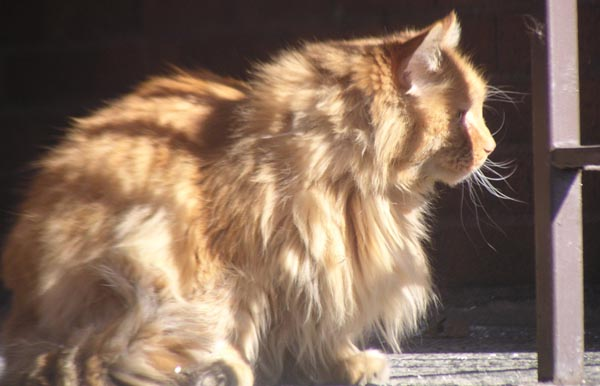 bedraggled long-haired orange cat outdoors