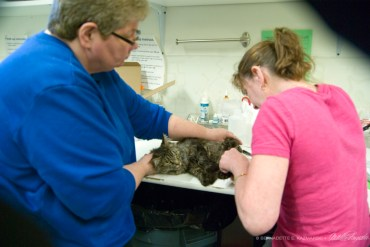 Karen Sable and Michelle Corrigan take a blood sample from one of the rescued cats.