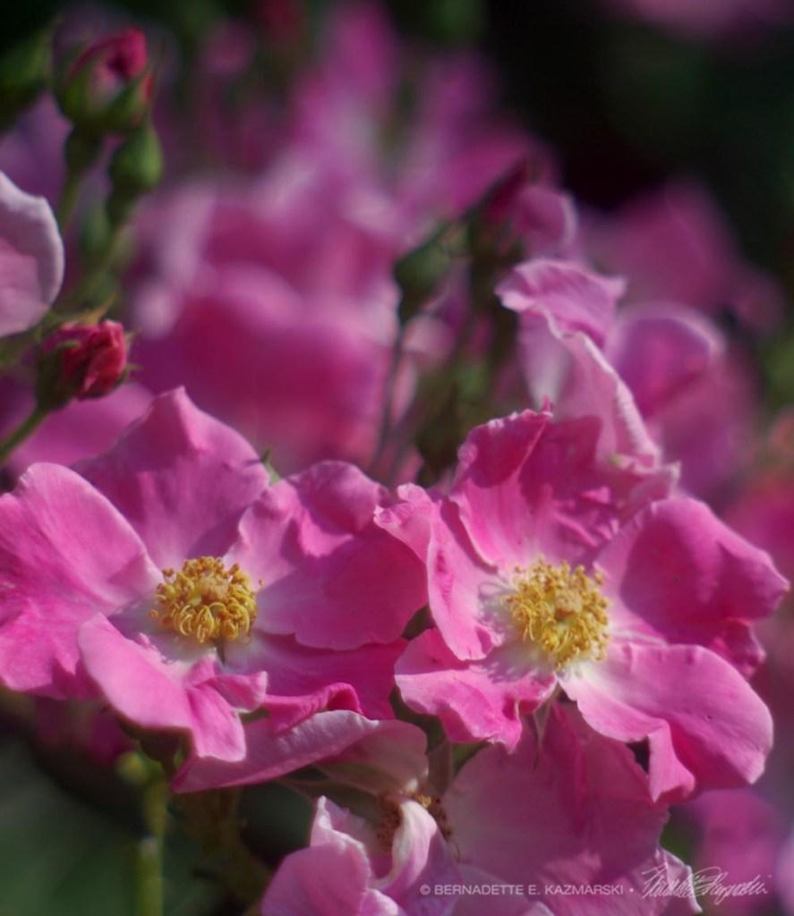 Pink Pasture Roses