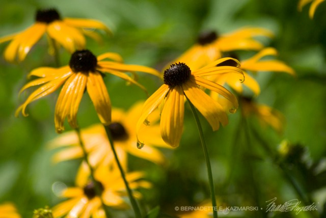 Rudbeckia in the Rain