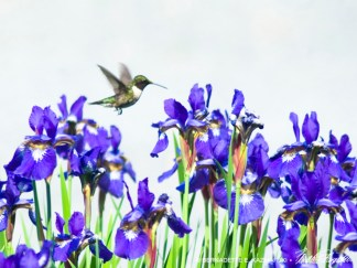 12 x 16 Hummingbird and Irises.