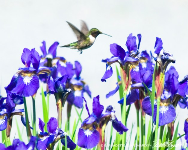 Hummingbird and Irises.