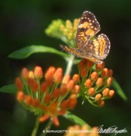 04-SilveryCheckerspotButterflyWeed-1000px