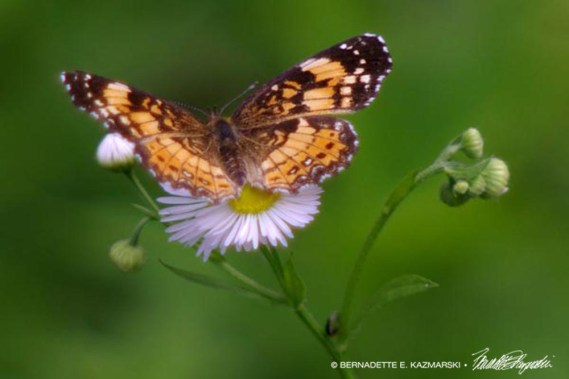 Checkerspot on Fleabane