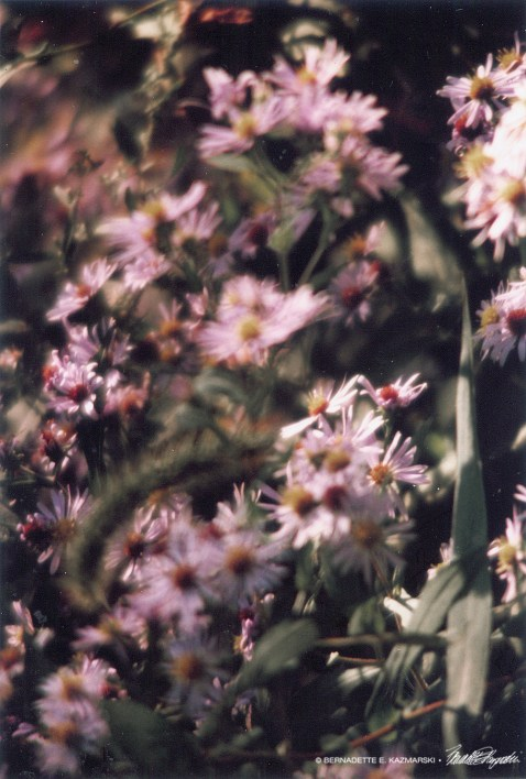 Asters on Parade
