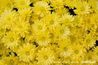 bedners-mums-closeup-1000px