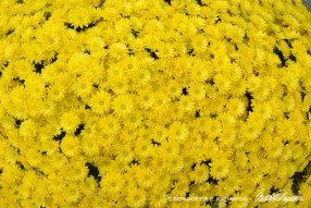 bedners-mums-full-1000px