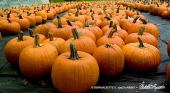 bedners-pumpkins2-1000px