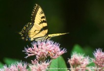 Tiger Swallowtail and Joe-pye Weed, Butterfly Photo