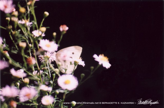 Cabbage White Butterfly on Asters, Butterfly Photo