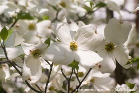 042813-DogwoodBlossoms-rev