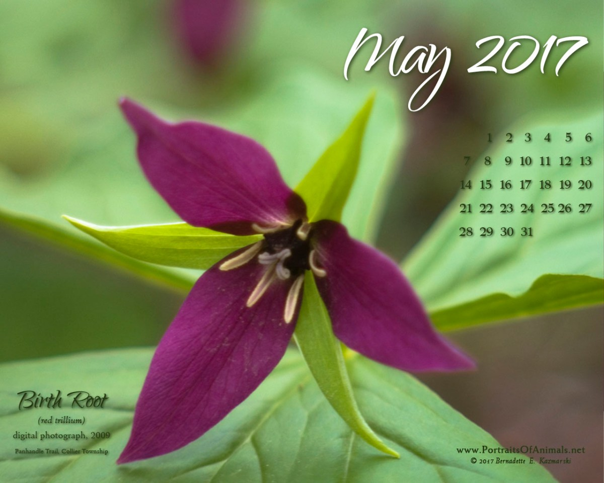 May Nature Desktop Calendar: Birth Root, Red Trillium
