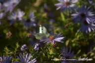 Cabbage white on the asters