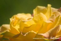 Neighbor's stunning rose