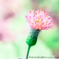 Florecitas salvajes rosadas / Pink wild flowers