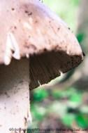 Wild-Mushroom-Portraits-of-my-Land.com