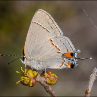 Gray hairstreak on flowering elbowbush