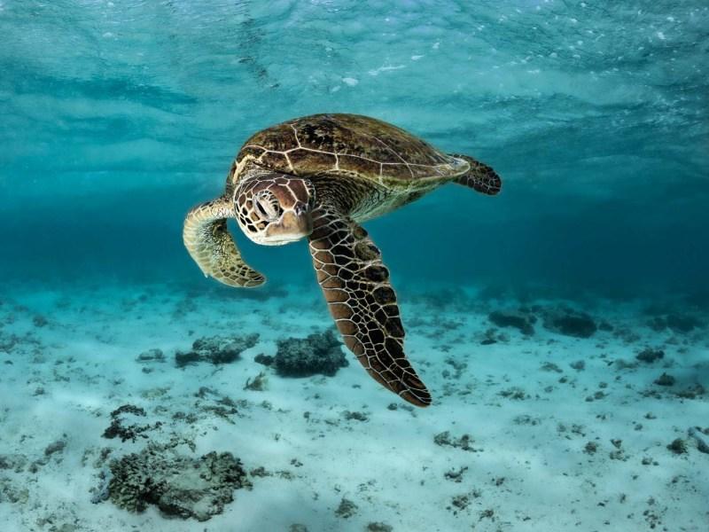 lady Elliot island turtle photo